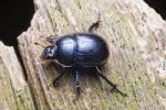 Thumbnail Dor beetle (Anoplotrupes stercorosus, Geotrupes amoethysticus, Geotrupes erythropterus, Geotrupes fauconneti, Geotrupes inaequalis, Geotrupes juvenilis, Geotrupes monticola, Geotrupes nigrinus, Ge