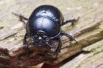 Thumbnail Dor beetle (Anoplotrupes stercorosus, Geotrupes amoethysticus, Geotrupes erythropterus, Geotrupes fauconneti, Geotrupes inaequalis, Geotrupes juvenilis, Geotrupes monticola, Geotrupes nigrinus, Ge