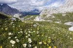 Thumbnail Flowers in Faloria gap, Gruppo del Sorapiss, Dolomites, Alto Adige, South Tirol, Alps, Italy, Europe