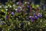 Thumbnail Mountain-heath Phyllodoce coerulea Eastgreenland