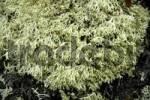 Thumbnail Reindeer lichen Cladonia rangiferina Eastgreenland