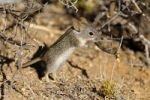 Thumbnail African striped mouse (Rhabdomys pumilio) in its natural habitat, Goegap Nature Reserve, Namaqualand, South Africa