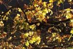 Thumbnail autumnal grape-vine - Madeira