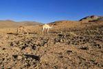Thumbnail Two camels in volcanic landscape of Atakor, Hoggar, Ahaggar Mountains, Wilaya Tamanrasset, Algeria, Sahara, North Africa