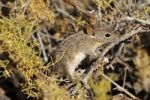 Thumbnail Four-striped Grass Mouse or Four-striped Grass Rat (Rhabdomys pumilio), in its natural habitat, Goegap Nature Reserve, Namaqualand, South Africa, Africa