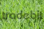Thumbnail detail of a meadow green gras Austria