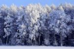 Thumbnail Frost-covered birch trees and other trees on the edge of a forest in a snow-covered landscape in winter, Schleswig-Holstein, Germany, Europe