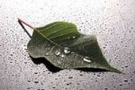 Thumbnail Leaf covered with water or dew drops