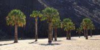 Thumbnail Palm trees on the sandy beach of Playa de las Teresitas, Tenerife, Canary Islands, Spain, Europe