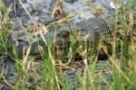 Thumbnail Nile crocodile, Crocodylus niloticus, Chobe River, Botswana