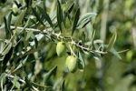 Thumbnail Green olives on the tree, Maipu, Mendoza Province, Argentina, South America