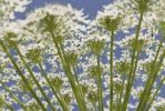 Thumbnail Close-up of Common Hogweed (Heracleum sphondylium), Sweden, Europe