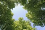 Thumbnail Low angle view of trees in summertime, Sweden, Europe
