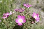 Thumbnail Rosa Canina or Dog Rose (Rosa canina), flowers, Keylong, Lahaul and Spiti district, Himachal Pradesh, India, South Asia, Asia