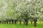 Thumbnail Blossoming apple trees in spring