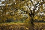 Thumbnail Cherry tree in autumn, Pfalz, Rhineland-Palatinate, Germany, Europe