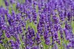Thumbnail Lavender (Lavandula), Rhineland-Palatinate, Germany, Europe