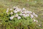 Thumbnail Cushion-like beach-growing Thrift (Armeria maritima) near Núpskatla, Raufarhoefn, Melrakkaslétta, Iceland, Scandinavia, Northern Europe, Europe