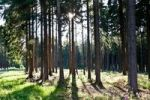 Thumbnail Forest with pine trees in backlight
