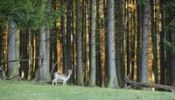 Thumbnail Fallow Deer (Dama dama), Sparbach Nature Park, Vienna Forest, Lower Austria, Austria, Europe