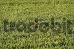Thumbnail Running roe deer Capreolus capreolus in the corn field