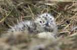 Thumbnail Chicks, Great Skua (Stercorarius skua), Ingólfshoefði, South Iceland, Iceland, Europe
