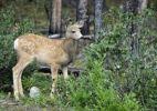 Thumbnail Mule Deer (Odocoileus hemionus), fawn, Jasper National Park, CCanadian Rockies, Alberta, Canada