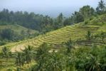 Thumbnail Agriculture, rice paddies, rice terraces and coconut palms, Jatiluwih in Ubud, Bali, Indonesia, Southeast Asia, Asia