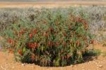 Thumbnail Balloon Pea or Cancer Bush (Sutherlandia frutescens), Namaqualand, South Africa, Africa