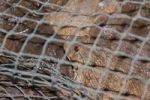 Thumbnail Toads, Thai delicacy, in a net on a market in Thailand, Southeast Asia