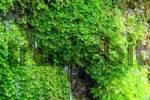Thumbnail Pellia epiphyllia moss grows on water flooded rock