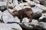 Thumbnail Alpine ibex (Capra ibex), Alpenzoo Innsbruck alpine zoo, Tyrol, Austria, Europe