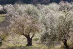 Thumbnail Blossoming Almond (Prunus dulcis) trees, Randa, Majorca, Balearic Islands, Spain, Europe