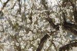 Thumbnail Blossoming Almond (Prunus dulcis) trees, Majorca, Balearic Islands, Spain, Europe
