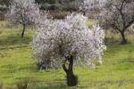 Thumbnail Blossoming Almond (Prunus dulcis) trees, Algaida, Majorca, Balearic Islands, Spain, Europe