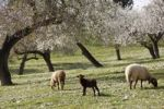 Thumbnail Lamb and sheep, blossoming Almond (Prunus dulcis) trees, Montuiri, Majorca, Balearic Islands, Spain, Europe