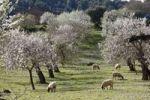 Thumbnail Sheep grazing between blossoming Almond (Prunus dulcis) trees, Montuiri, Majorca, Balearic Islands, Spain, Europe