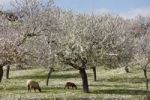 Thumbnail Sheep grazing between blossoming Almond (Prunus dulcis) trees, Montuiri, Majorca, Balearic Islands, Spain, Europe