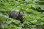Thumbnail Young brown bear (Ursus arctos), valley near Sinca Nova, Romania, Europe