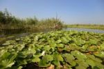 Thumbnail Water Lilies (Nymphaea), Danube Delta, Murighiol, Romania, Europe