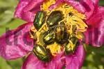 Thumbnail beetle Cetonia aurataon on a peaony Paeonia officinalis Austria