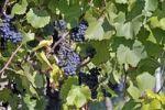 Thumbnail Grapes (Vitis vinifera), blue grapes on the vine, vineyard in Esslingen am Neckar, Baden-Wuerttemberg, Germany, Europe