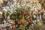 Thumbnail Kinnikinnik Aarctostaphylos uva ursi Denali Nationalpark Alaska USA