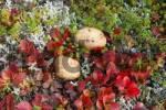 Thumbnail fall color of the ground shrubs Denali National Park Alaska USA