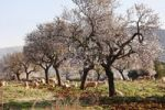 Thumbnail Blossoming almond trees (Prunus dulcis), Campos, Majorca, Balearic Islands, Spain, Europe