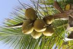 Thumbnail Coconuts on a coconut palm (Cocos nucifera), Dominican Republic, Caribbean