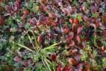 Thumbnail fall color and frost on the ground shrubs Denali National Park Alaska USA