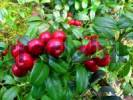 Thumbnail ripe lingonberries outdoors