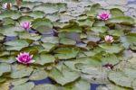 Thumbnail Pond with water lilies, Pilsalas iela, Pilsalas Street, Aluksne, Vidzeme, Latvia, Northern Europe