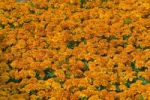 Thumbnail Flowerbed of French Marigolds (Tagetes patula)